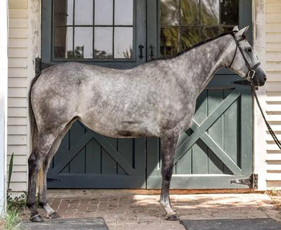 thoroughbred horse available for adoption