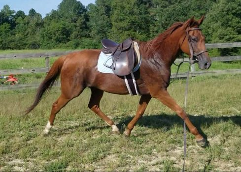 2021-09_Blue-Blood-Thoroughbred-Adoption-Placement_horse_ember_01